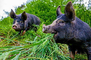 Domestic Berkshire  pigs feeding in meadow in spring, Germany  -  Klein & Hubert