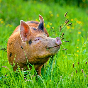Domestic Tamworth x Berkshire pig in meadow in spring, Germany - Klein & Hubert