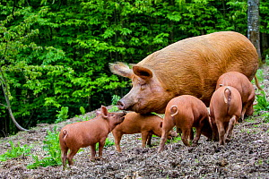 Domestic Tamworth pig, sow and piglets in forest. Germany  -  Klein & Hubert