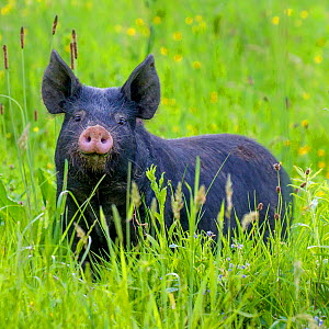 Domestic Berkshire pig feeding in meadow in spring, Germany - Klein & Hubert