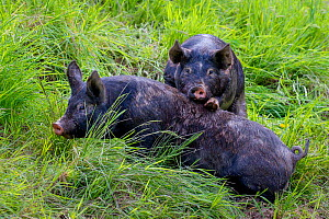 Domestic Berkshire pig, young waking up fellow to play. Germany - Klein & Hubert