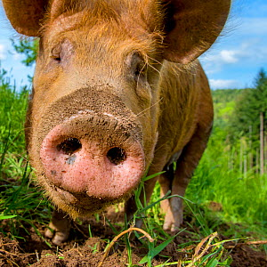 Domestic Tamworth pig, nose close up,  digging in earth, portrait, Germany.  -  Klein & Hubert