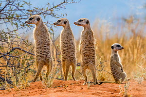 Three adult Meerkats (Suricata suricatta)  rear view standing and looking in same direction, and a juvenile,  Kalahari Desert, South Africa  -  Klein & Hubert