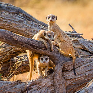Three Meerkats (Suricata suricatta) on a dead tree in Kalahari Desert, South Africa. - Klein & Hubert