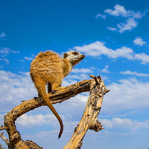 Meerkat (Suricata suricatta) standing sentry on a dead tree in Kalahari Desert, South Africa - Klein & Hubert