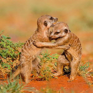 Meerkats (Suricata suricatta) juveniles playfighting in Kalahari Desert, South Africa.  -  Klein & Hubert