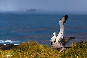 Wandering albatross (Diomedea  exulans exulans) chick, South Georgia, Antarctica.  -  Klein & Hubert