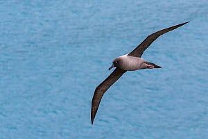 Grey-mantled  /Light-mantled sooty albatross (Phoebetria palpebrata) in flight, South Georgia.  -  Klein & Hubert