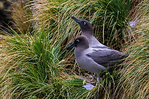 Grey-mantled / Light-mantled sooty albatross (Phoebetria palpebrata) on nest in  tussocks, South Georgia, Antarctica.  -  Klein & Hubert