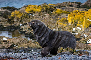 Antarctic fur seal (Arctocephalus gazella) male walking on shore, South Georgia Island, Antarctica.  -  Klein & Hubert