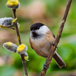 Willow tit (Parus montanus) sitting on willow branch with catkins in spring, France, April.  -  Klein & Hubert