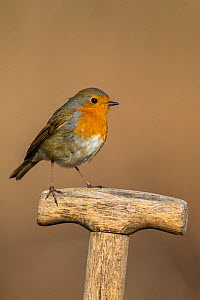 Robin (Erithacus rubecula)  sitting on willow branch with catkins in early spring, France. April,  -  Klein & Hubert