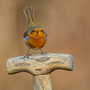 Robin (Erithacus rubecula) sitting on spade handle in early spring. April, France.  -  Klein & Hubert