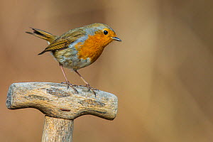 Robin (Erithacus rubecula)  sitting on willow branch with catkins in early spring, France. April.  -  Klein & Hubert