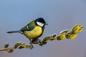 Great tit (Parus major) sitting on willow branch with catkins in early spring, France, April.  -  Klein & Hubert