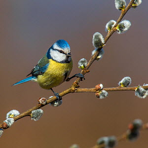 Blue tit (Parus caeruleus) sitting on willow branch with catkins in early spring, Alsace, France, April.  -  Klein & Hubert