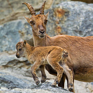 Ibex (Capra ibex) female with kid on rock wall, Alps, Switzerland.  -  Klein & Hubert