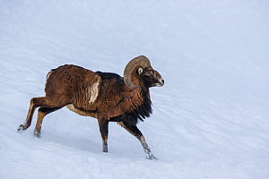 Mouflon (Ovis orientalis musimon) running on snow-covered slope in winter, Germany - Klein & Hubert