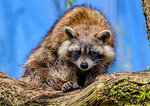 Raccoon  (Procyon lotor) in a willow tree in spring, France. Introduced species. - Klein & Hubert