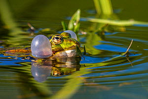 Edible frog (Pelophylax esculenta) male displaying in water, Alsace, France, June. - Klein & Hubert