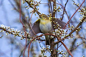 Wood warbler (Phylloscopus sibilatrix) displaying in flowering blackthorn bush in early spring, Alsace, France, April.  -  Klein & Hubert