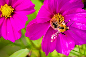 Common carder bee (Bombus pascuorum) foraging on Cosmos flower (Cosmos sonata) in garden, France - Klein & Hubert