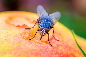 Blue bottle (Calliphora vicina) fly drinking juice from a pear in autumn, France.  -  Klein & Hubert