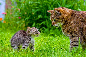 Tabby and white kitten meeting adult male tabby cat for first time, France.  -  Klein & Hubert