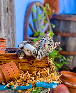 Two tabby and white kittens playing in old wooden box in farmyard, France.  -  Klein & Hubert