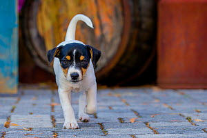 Jack Russell Terrier puppy walking in front of old barrel  -  Klein & Hubert
