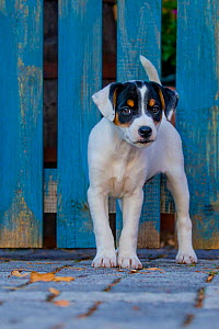 Jack Russell Terrier puppy standing in front of blue fence  -  Klein & Hubert