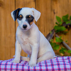 Jack Russell Terrier puppy sitting on pillow  -  Klein & Hubert