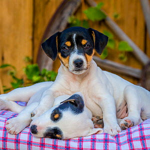 Two Jack Russell Terrier puppies resting in old wheelbarrow  -  Klein & Hubert