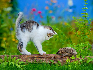 Tabby and white kitten investigating Hedgehog (Erinaceus europaeus) and arching back, in garden. Sequence 4 of 4 Controlled conditions. - Klein & Hubert