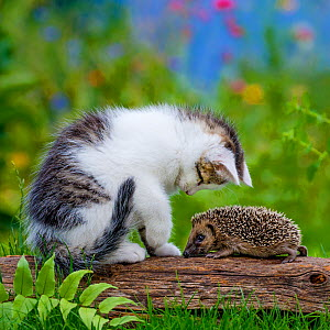 Tabby and white kitten investigating Hedgehog (Erinaceus europaeus) in garden. Sequence 1 of 4 Controlled conditions. - Klein & Hubert