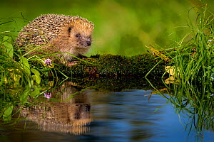 European hedgehog (Erinaceus europaeus) near water, France. Controlled conditions. - Klein & Hubert
