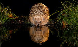European hedgehog (Erinaceus europaeus) reflected in water at night, France. Controlled conditions. - Klein & Hubert