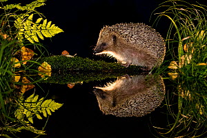 European hedgehog (Erinaceus europaeus) and snail (Cepaea nemoralis) reflected in water, France. Controlled conditions. - Klein & Hubert