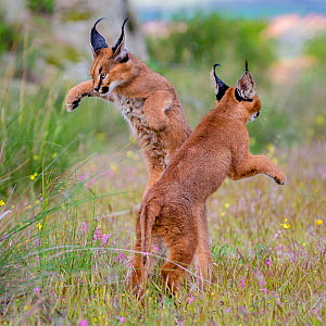 Two young Caracals (Caracal caracal) playing together. South Africa. Captive. - Klein & Hubert