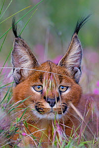Young Caracal (Caracal caracal) lying in high grass - portrait, South Africa. Captive. - Klein & Hubert