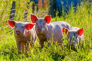 Large white x Pietrain young pigs foraging in a meadow in summer,  France  -  Klein & Hubert