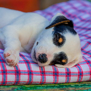 Jack Russell Terrier puppy sleeping on old wheelbarrow  -  Klein & Hubert
