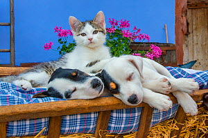 Two Jack Russell Terrier puppies and tabby and white kitten in old cart  -  Klein & Hubert
