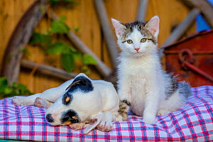 Sleeping Jack Russell Terrier puppy and kitten on old wheelbarrow  -  Klein & Hubert