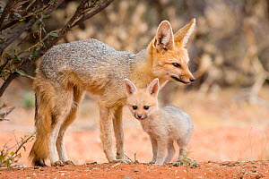 Cape fox (Vulpes chama) female and puppy age two months, South Africa. - Klein & Hubert