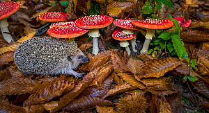 European hedgehog (Erinaceus europaeus) in sweet chestnut forest in autumn near Fly agaric fungus (Amanita muscaria), France Controlled conditions.  -  Klein & Hubert