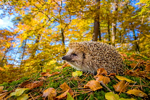 European hedgehog (Erinaceus europaeus) sniffing the air, in deciduous forest in autumn, France Controlled conditions. - Klein & Hubert