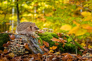 European hedgehog (Erinaceus europaeus) on tree stump colonized by Fly agaric fungi (Amanita muscaria) in common beech forest in autumn, France. Controlled conditions.  -  Klein & Hubert