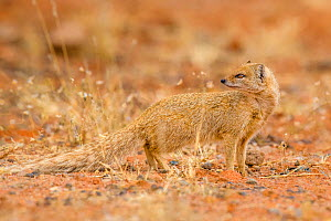 Yellow mongoose (Cynictis penicillata) South Africa - Klein & Hubert