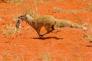 Yellow mongoose (Cynictis penicillata) running in desert carrying a freshly caught Highweld gerbil (Gerbilliscus  brantsii) South Africa - Klein & Hubert